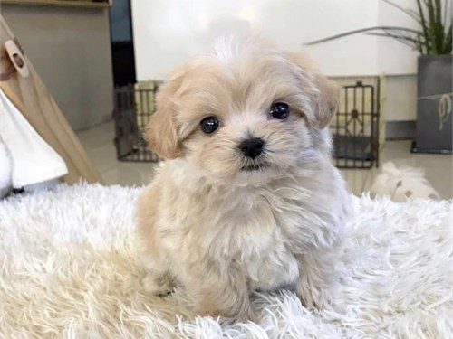 Beautiful maltese puppy