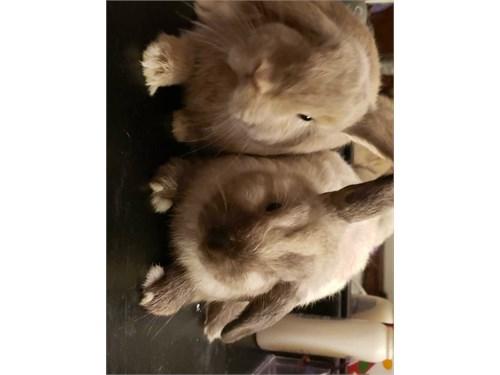 Mini lop eared bunnies