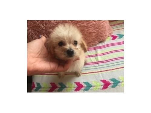 Maltipoo puppies $2800