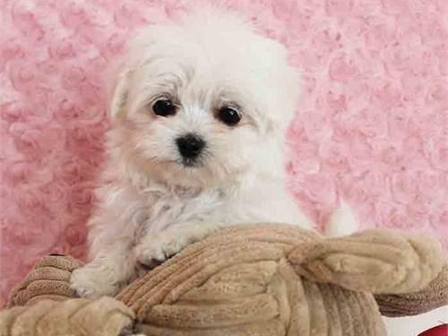 Tiny maltese girl Lucy