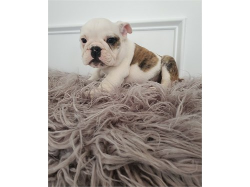 Jazo English Bulldog pups
