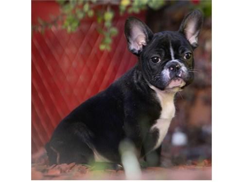 Frenchbulldog black&white