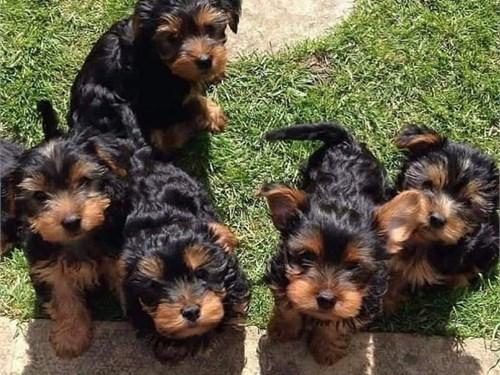 adorable yorkies puppies