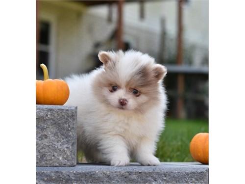 Dazzling Pomeranian