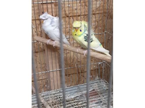Hogoramo Parakeet Pair