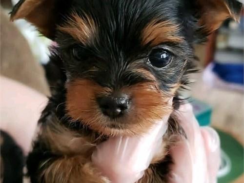 Lovely Teacup Yorkie Pupp
