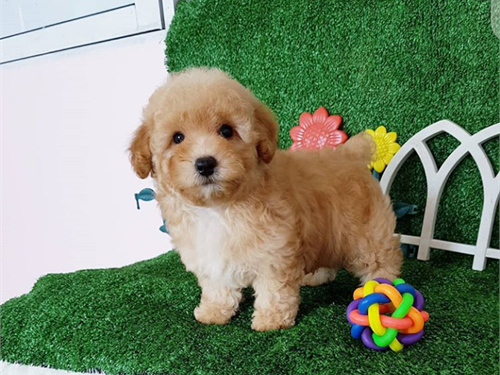 Darling – Toy poodle pups