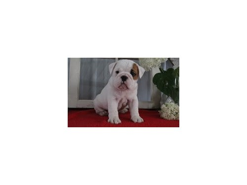 Beautiful English Bulldog