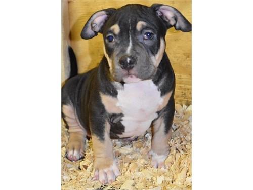 Cute Pit Bull Puppies