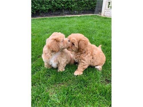 MaltiPoo puppies ready