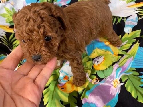 Kiki Sweet Toy Poodle