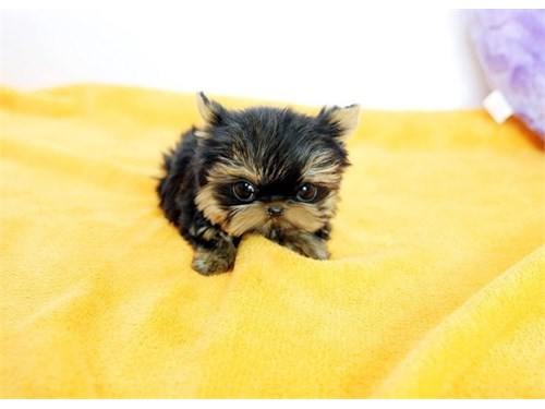 Two Teacup Yorkie Puppies
