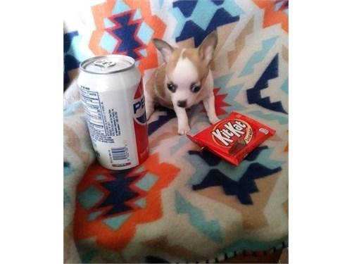 Healthy Chihuahua Puppies
