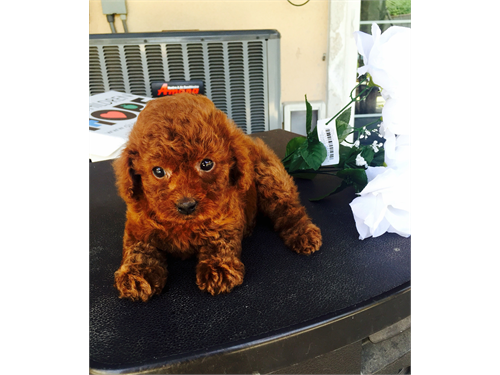 AKC Toy Red Poodle
