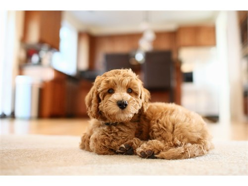 yellow Labradoodle pup