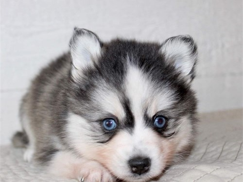 Amazing pomsky puppy