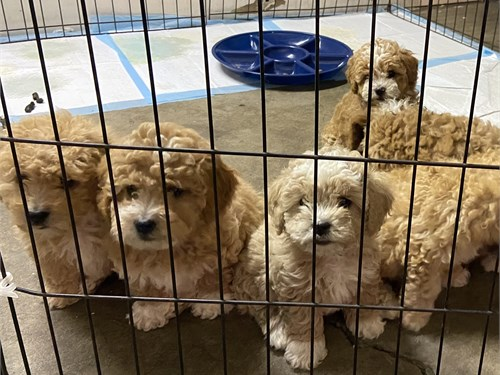 Adorable toy poodles