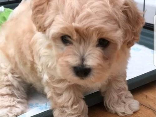 Mini Maltipoo Puppies