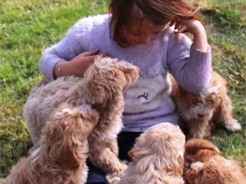 Gorgeous maltipoo puppies