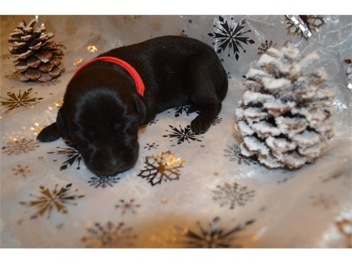 Hybrid Lab Retriever Pups