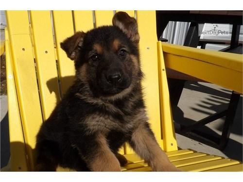 Cute German shepherd pups