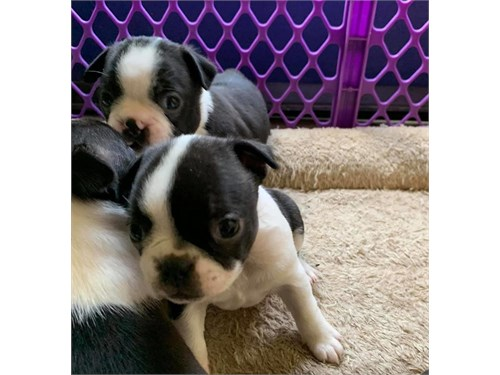 Healthy bost terrier pups