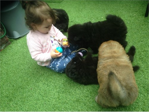 chow chow puppies for sal