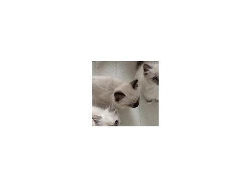 vvcvc Ragdoll kittens