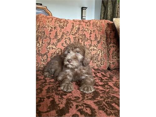 Mini Irish Whoodle Puppy