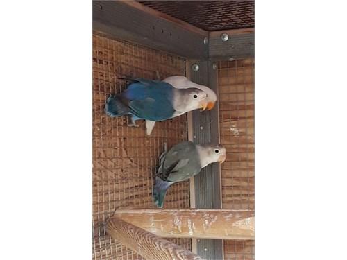 fisher lovebirds for sale