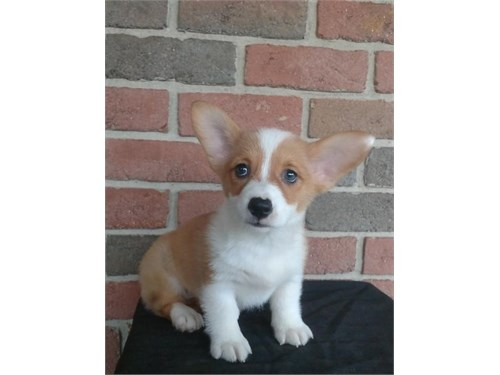 Corgi Pups to Approved