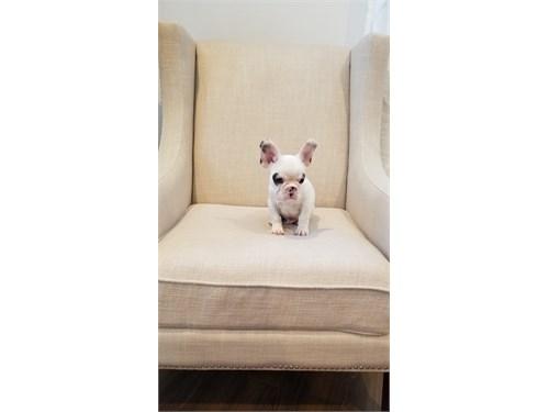 Adorable French Bulldog