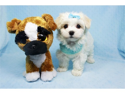 Teacup and Toy Maltese