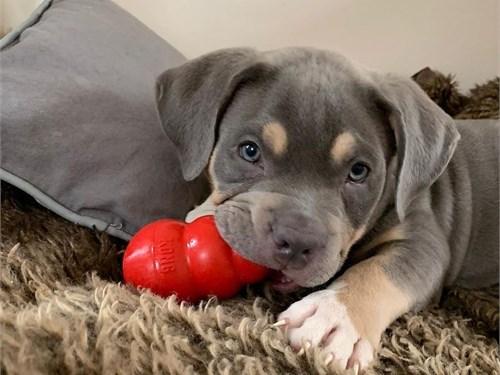 Pitbull pups for adoption