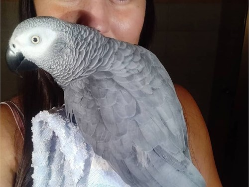 African grey parrot for s