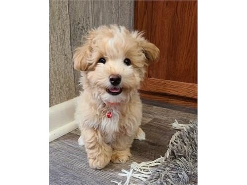 Special maltipoo puppy