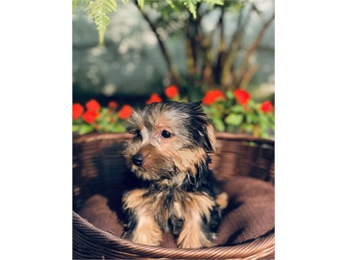 Yorkshire Terrier -Silvia