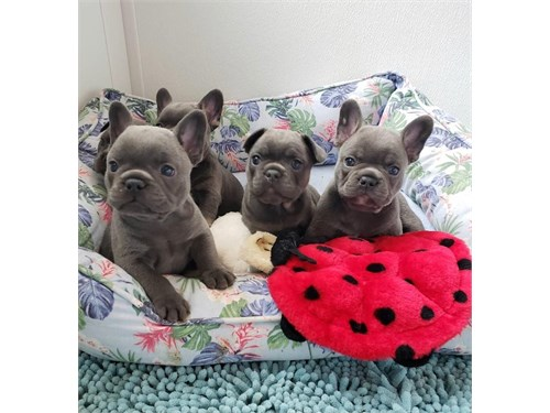 Beautiful Frenchie Pups