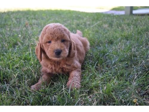 Golden Doodle Pups