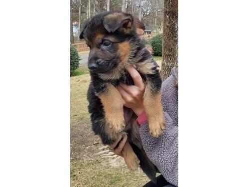 German Shepherd puppies A