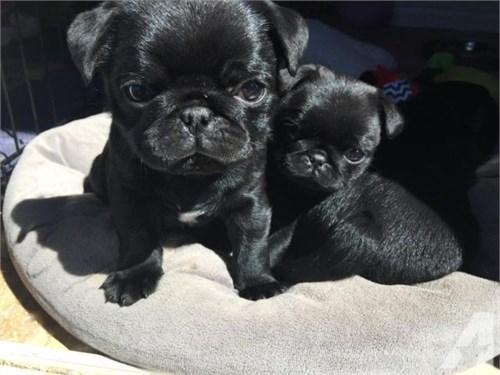 Fawn N Black Pug Puppies