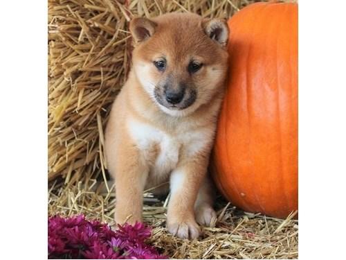 Gorgeous Shiba Inu Pups