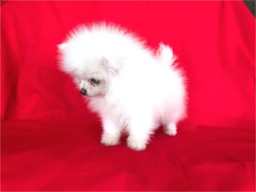 T CUP POMERANIAN PUPPY