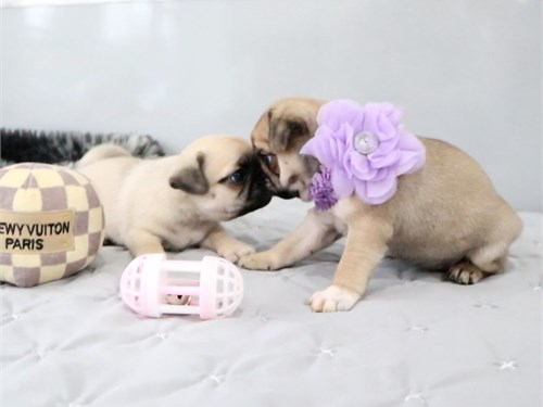 Superb Pug Puppies