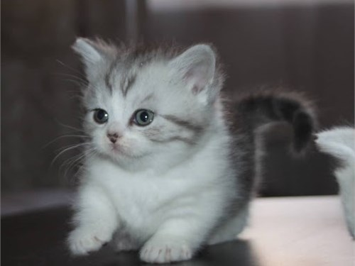 Munchkin kittens for sale
