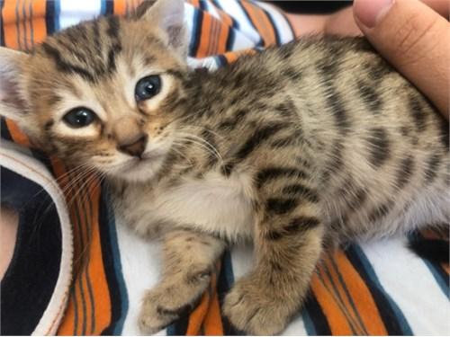 Savannah cats / kittens
