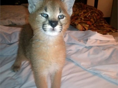 Caracals cats ready