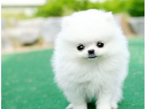 Pomeranian babies  AKC