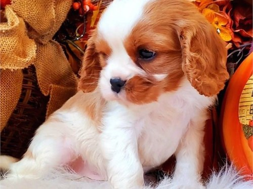 Cavalier king charle Pups