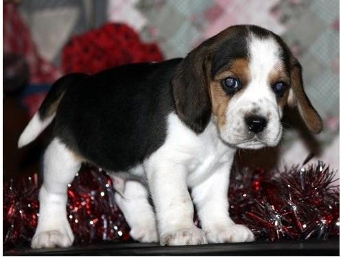 Playful Beagle Puppies